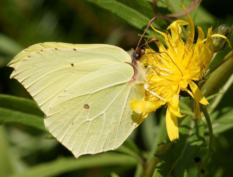 Gonepteryx rhamni FileGonepteryx rhamni SitruunaperhonenJPG Wikimedia Commons
