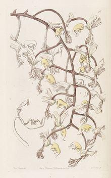Gongora truncata httpsuploadwikimediaorgwikipediacommonsthu