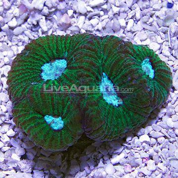 Goniastrea Saltwater Aquarium Corals for Marine Reef Aquariums Brain Coral