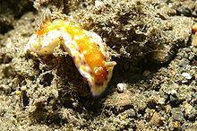 Goniobranchus collingwoodi httpsuploadwikimediaorgwikipediacommonsthu
