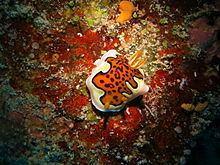 Goniobranchus gleniei httpsuploadwikimediaorgwikipediacommonsthu