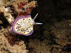 Goniobranchus kuniei httpsuploadwikimediaorgwikipediacommonsthu