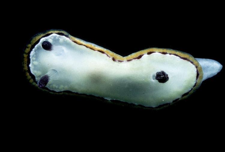 Goniobranchus rubrocornutus