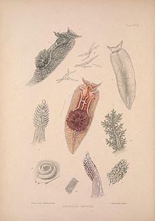 Goniodoris castanea httpsuploadwikimediaorgwikipediacommonsthu