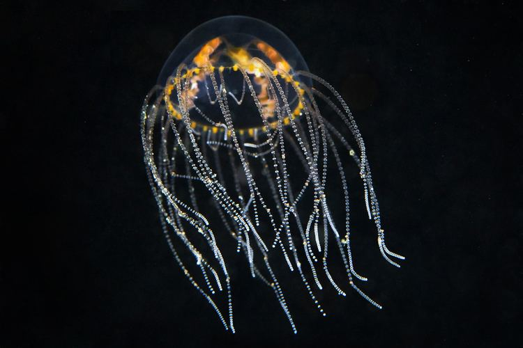 Gonionemus vertens Gonionemus vertens 2 Most dangerous hydrozoan jelly in the