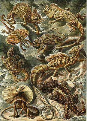 Gonocephalus chamaeleontinus httpsuploadwikimediaorgwikipediacommonsthu