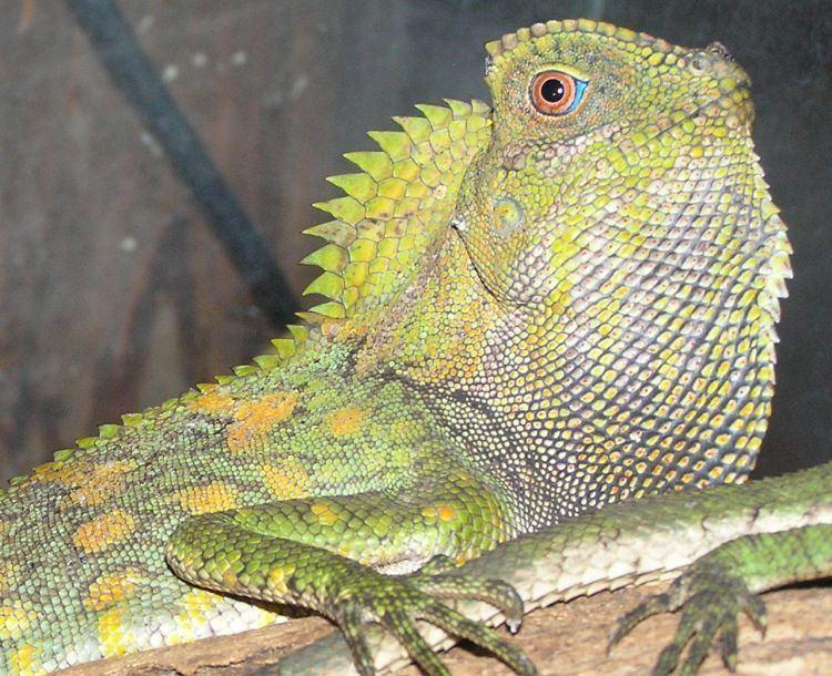 Gonocephalus chamaeleontinus Image Gonocephalus chamaeleontinus BioLibcz