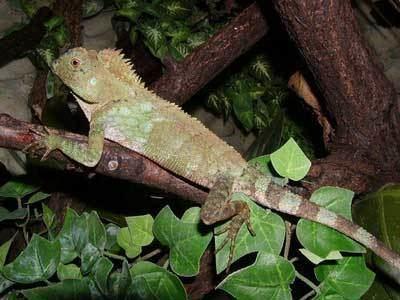 Gonocephalus chamaeleontinus Gonocephalus chamaeleontinus photo Reptarium