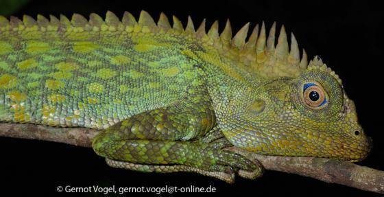 Gonocephalus chamaeleontinus Gonocephalus chamaeleontinus The Reptile Database