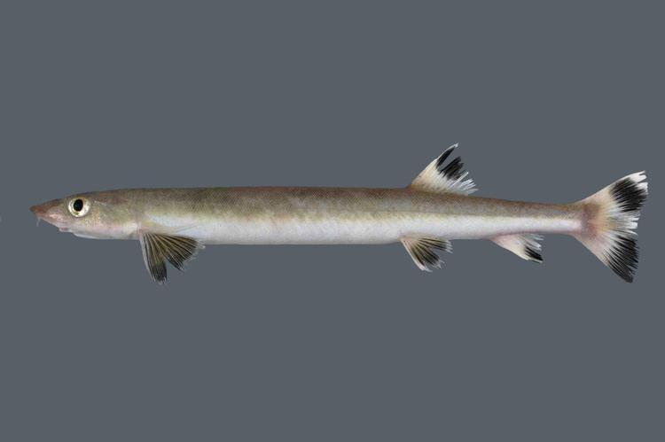 Gonorynchus fishesofaustralianetauImagesImageGonorynchusG