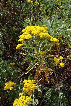 Gonospermum httpsuploadwikimediaorgwikipediacommonsthu