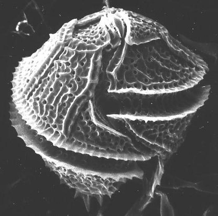 Gonyaulax Gonyaulax spinifera Claparde amp Lachmann Diesing 1866 Nordic