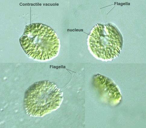 Gonyostomum protistihoseiacjpPDBImagesHeterokontophyta