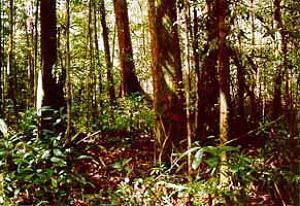 Gonystylus bancanus Governments Safeguard Sturgeon Tropical Hardwood