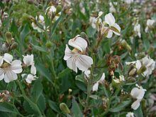 Goodenia albiflora httpsuploadwikimediaorgwikipediacommonsthu