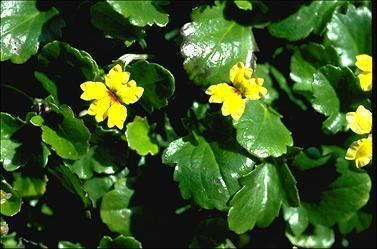 Goodenia hederacea Goodenia hederacea 8185323218160092jpg