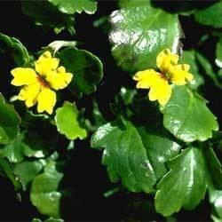 Goodenia hederacea Goodenia hederacea Growing Native Plants