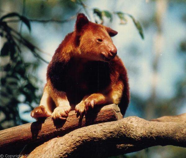 Goodfellow's tree-kangaroo Goodfellow39s Treekangaroo Dendrolagus goodfellowi