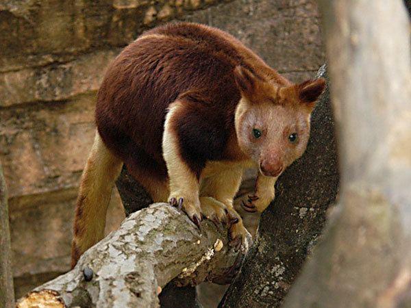 Goodfellow's tree-kangaroo Goodfellow39s Tree KangarooEndangered animals listOur endangered