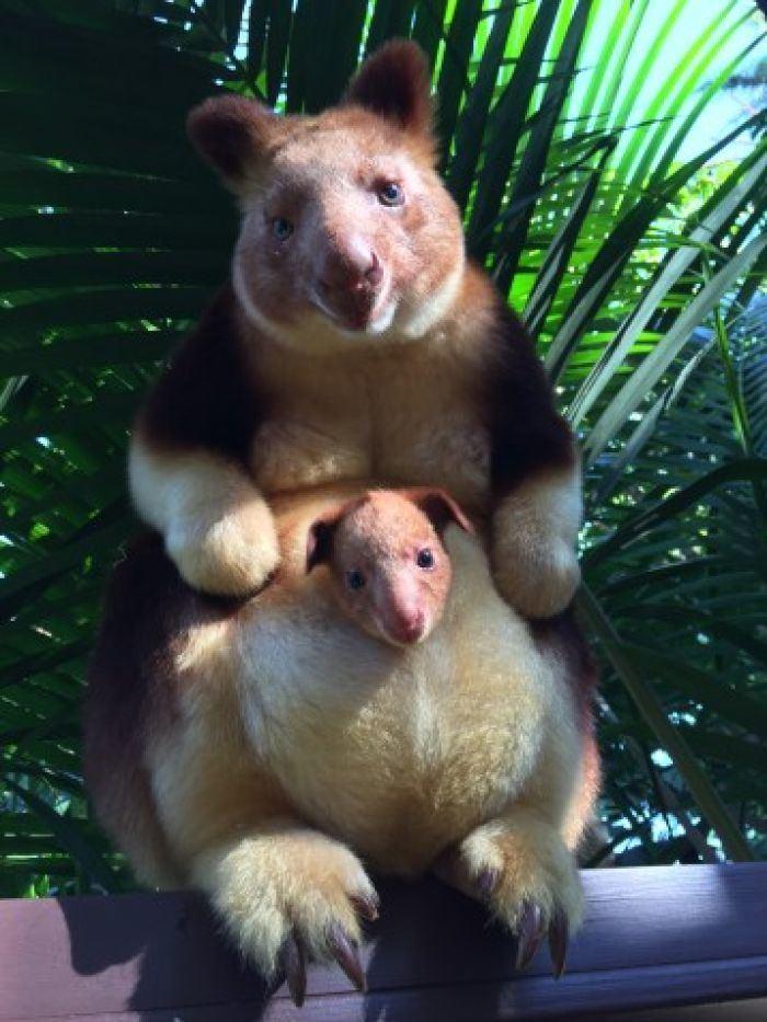 Goodfellow's tree-kangaroo Perth Zoo celebrates birth of endangered Goodfellow39s tree kangaroo