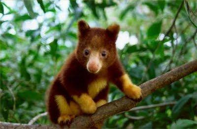 Goodfellow's tree-kangaroo Goodfellow39s Tree Kangaroo The Animals Biography