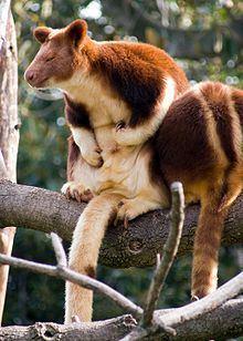 Goodfellow's tree-kangaroo httpsuploadwikimediaorgwikipediacommonsthu