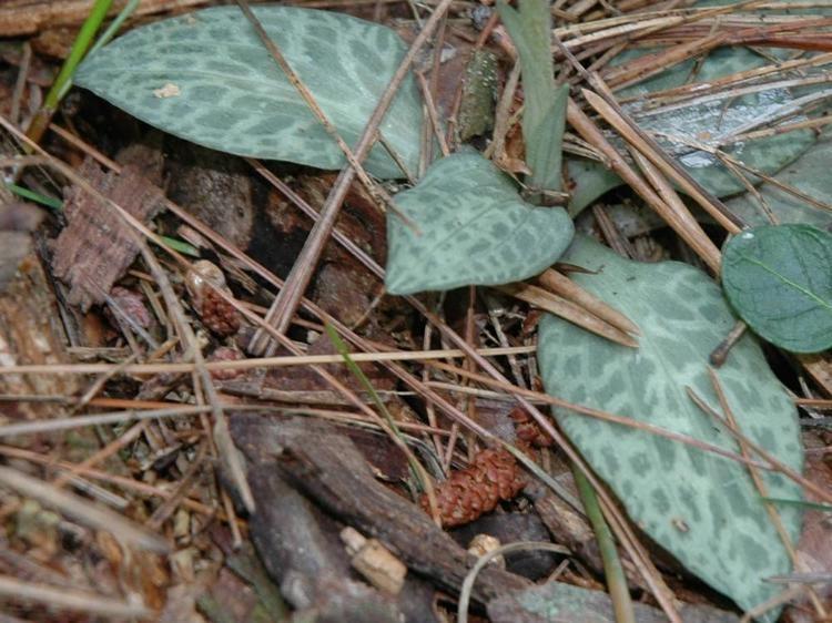 Goodyera tesselata Goodyera tesselata Checkered Rattlesnake Plantain Go Orchids