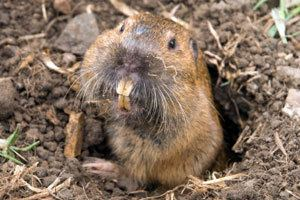 Gopher Get rid of Gophers Gopher Bait Gopher Damage Kaput Products