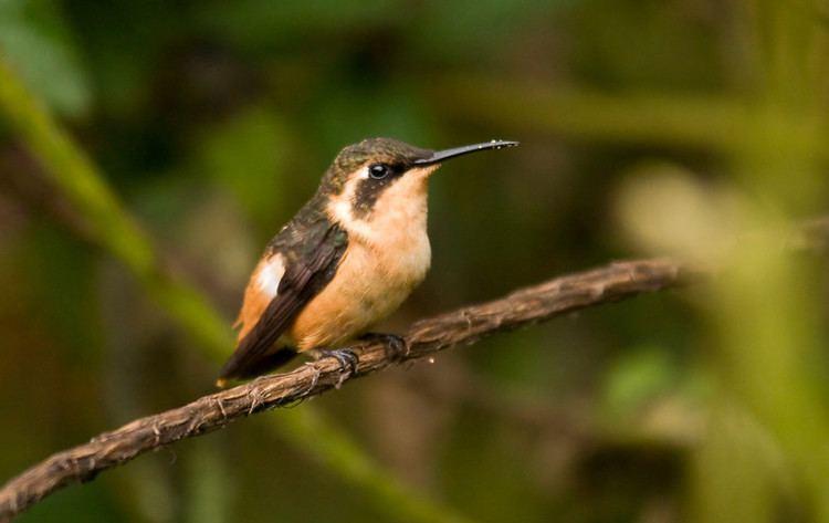 Gorgeted woodstar Sapayoa Ecuador Bird Photos Photo Keywords wildsumaco gorgeted