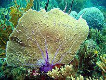 Gorgonia flabellum httpsuploadwikimediaorgwikipediacommonsthu