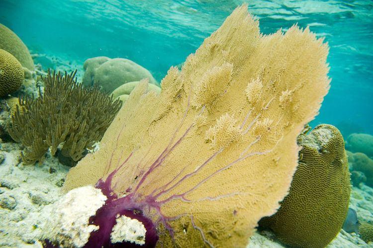Gorgonia flabellum FileVenus sea fan Gorgonia flabellum 4675578269jpg Wikimedia
