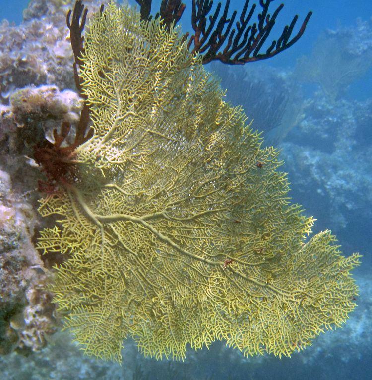 Gorgonia flabellum FileGorgonia flabellum Long Bayjpg Wikimedia Commons