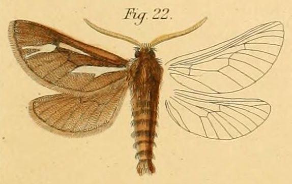 Gorgopis zellerii
