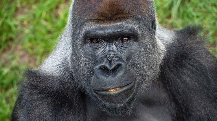 Gorilla Gorilla San Diego Zoo Animals amp Plants
