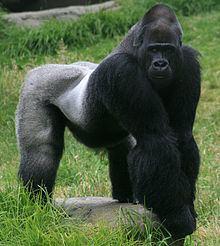 Gorilla httpsuploadwikimediaorgwikipediacommonsthu