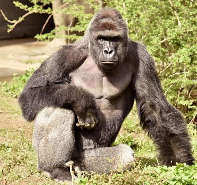 Gorilla Killing of gorilla to save boy at Ohio zoo sparks outrage Reuters