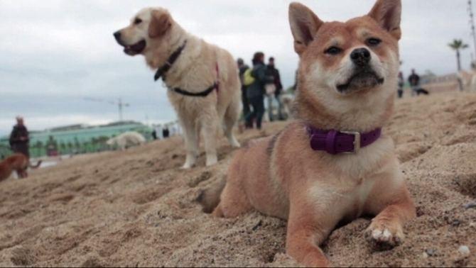 Gossos ajorna l39obligaci de lligar els gossos dos anys i destinar un