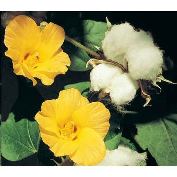 Gossypium Gossypium Herbaceum Seeds Cotton Plant Seeds Levant Cotton