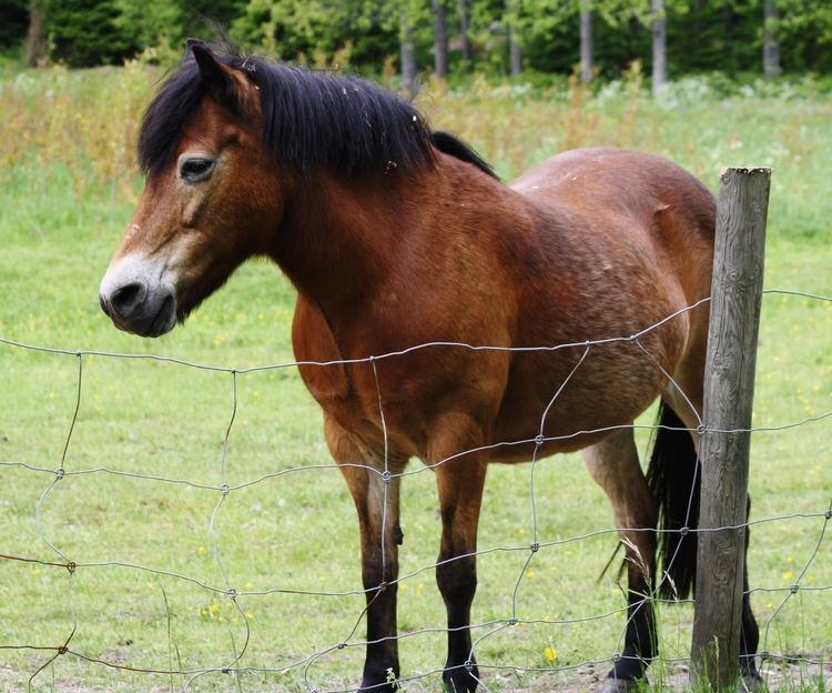 Gotland pony 1000 images about GotlandRuss Pony on Pinterest Palomino Ponies