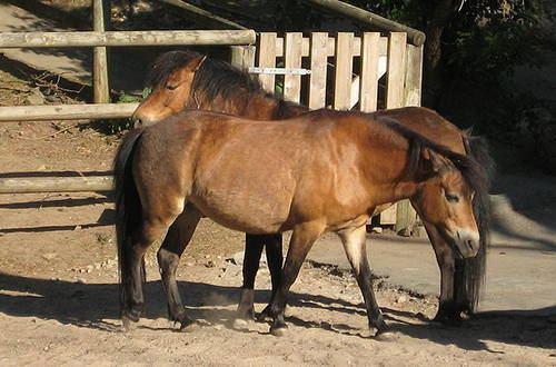 Gotland pony Gotland Pony