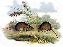Gould's mouse httpsuploadwikimediaorgwikipediacommonsthu