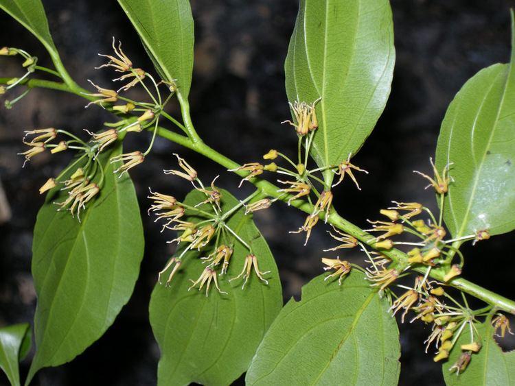 Goupia glabra Goupia glabra Goupiaceae image 38149 at PlantSystematicsorg