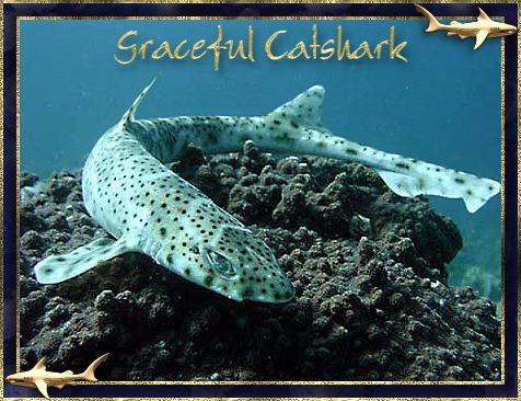 Graceful catshark wwwsharkcoveinfoschoolgalleryimagesSCgracefu