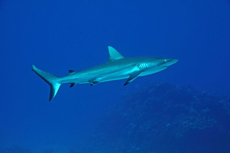 Graceful shark Grey Reef Shark Graceful Shark Carcharhinus amblyrhynchoides