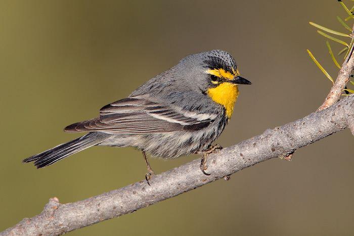Grace's warbler Warbler