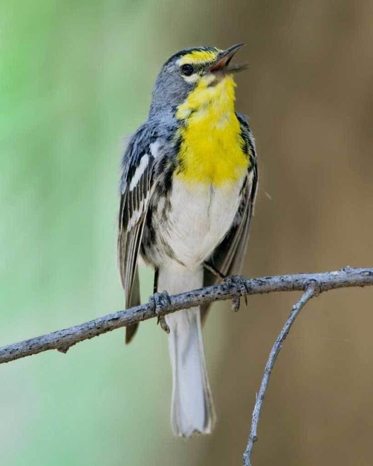 Grace's warbler Grace39s Warbler Audubon Field Guide