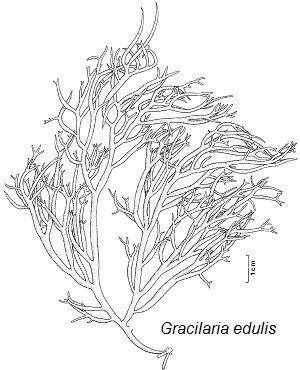 Gracilaria FAO Fisheries amp Aquaculture Cultured Aquatic Species Information