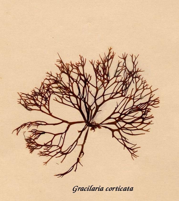 Gracilaria Gracilaria corticata