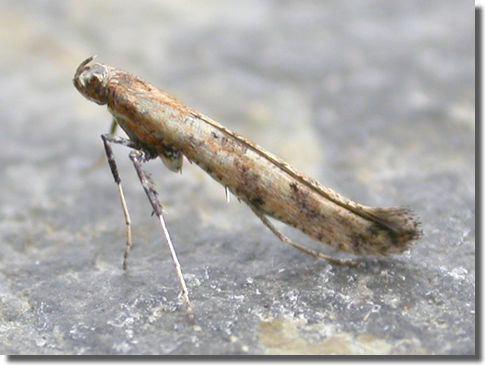 Gracillariidae Hants Moths Gracillariidae Gracillariinae