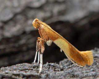 Gracillariidae 5109jpg